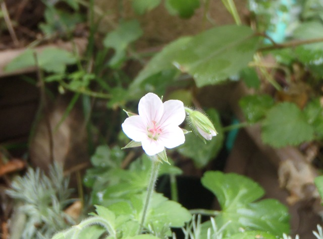 白花ゲンノショウコ2014921