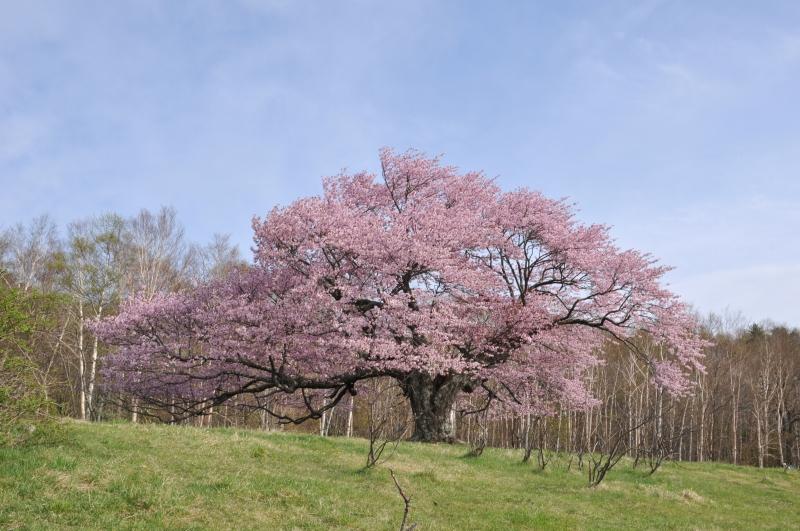 亀ヶ森一本桜 2010/5/18