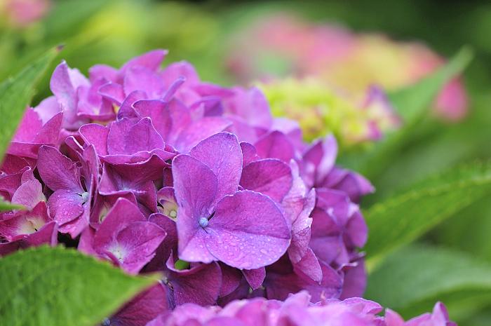 マクロ 105mm 紫陽花 2010 7 16