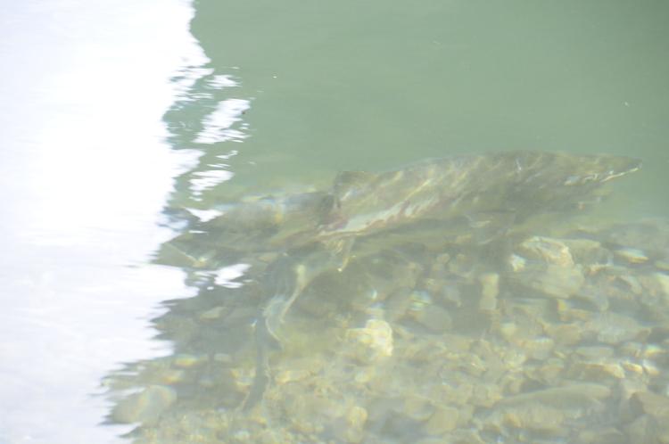 津軽石 鮭