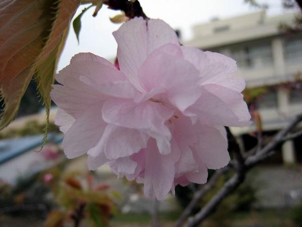 20100418八重桜