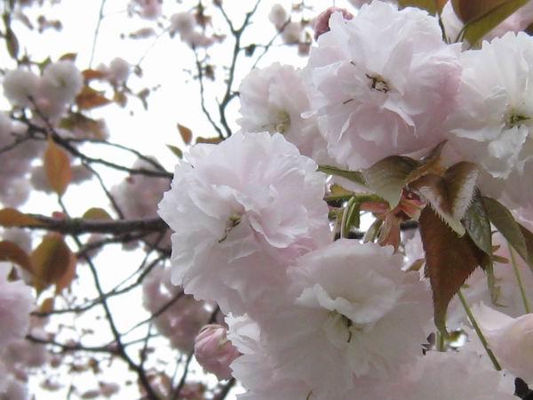 20100418八重桜2