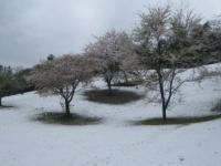 15番ホールの桜
