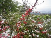 雪と木瓜の花