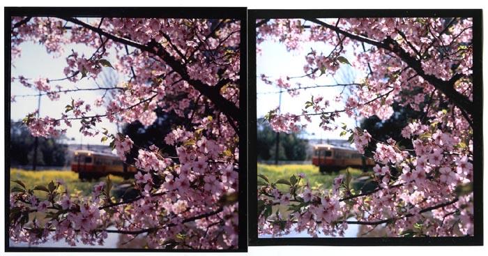 DRP・桜ピンク比較