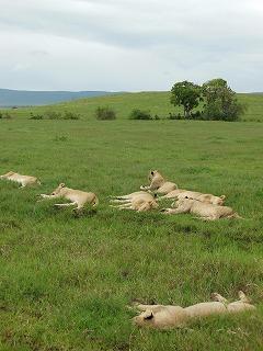 昼寝するライオンたち