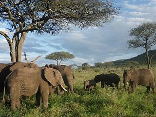 ゾウの群れ