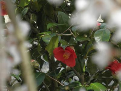 枝垂桜と椿
