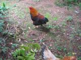 比内鶏の飼育