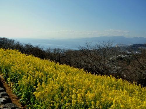 110122+吾妻山公園 菜の花+016_convert_20110122191720
