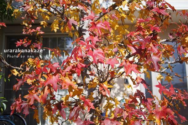 アメリカフウ(モミジバフウ)の紅葉