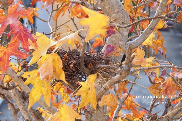 アメリカフウ(モミジバフウ)に鳩の巣