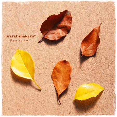 シマトネリコの黄葉&茶色の葉っぱ
