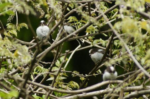 エナガ幼鳥達
