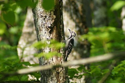 オオアカゲラの幼鳥
