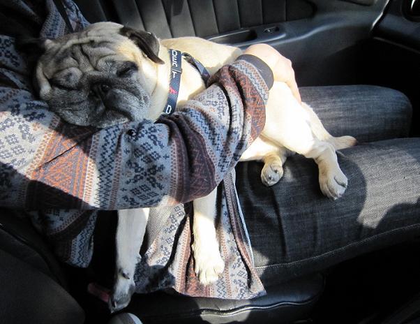 チッチ君、車に乗ったとたん爆睡・・・
