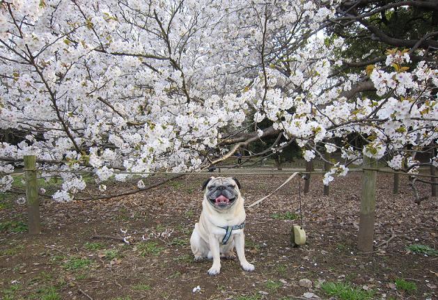 公園で一番大きい桜の前で