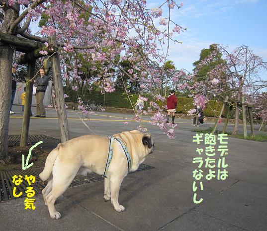 チッチ君、せっかくキレイな枝垂れ桜の前なのに・・・