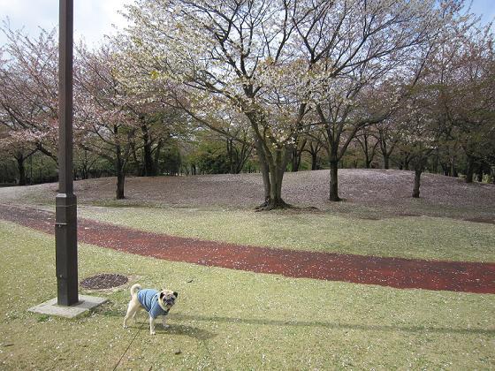 園内さくらの絨毯です。