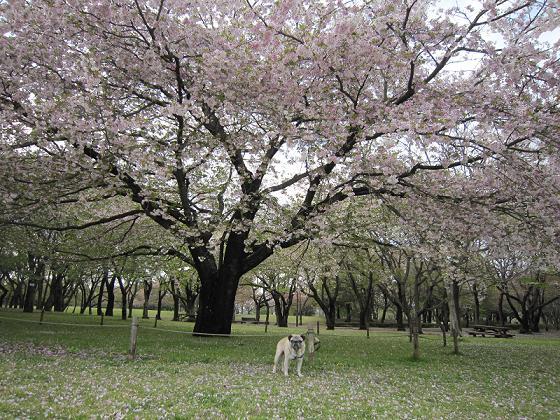 大島桜満開です
