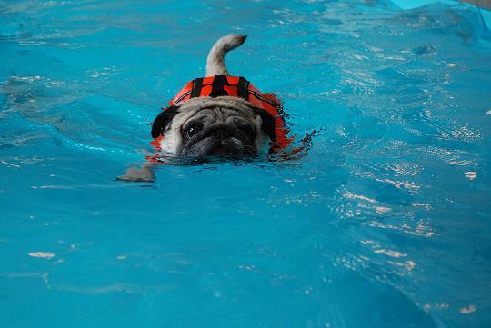 一生懸命泳いでいます。