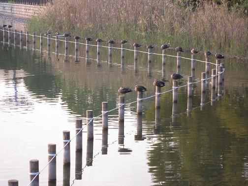 池の杭、1本1本に鴨が休んでいます。