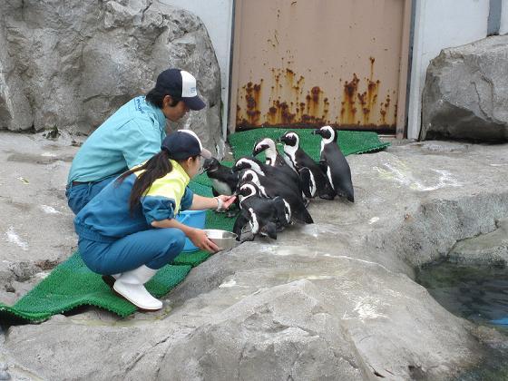 こちらは、ペンギンさんのお食事風景