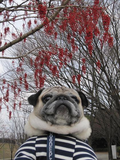 19日、公園にて、イイギリの木