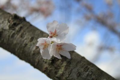 2010.4.7.「八田原ダム」、「桜」、1