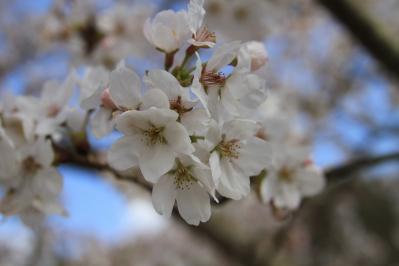 2010.4.7.「八田原ダム」、「桜」、4