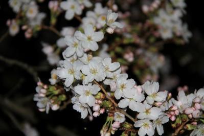 2010.4.5.「油木交番の桜、夜桜」、2