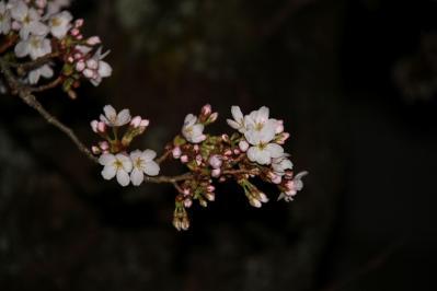 2010.4.5.「油木交番の桜、夜桜」、3