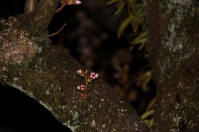 2010.4.5.「油木交番の桜、夜桜」、5