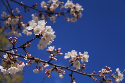 2010-03-29_EOS 7D_0196、2010.3.29.「倉敷中央病院の桜と小鳥」、4