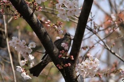 2010-03-29_EOS 7D_0205、2010.3.29.「倉敷中央病院の桜と小鳥」、6、「ヒヨドリ」1、