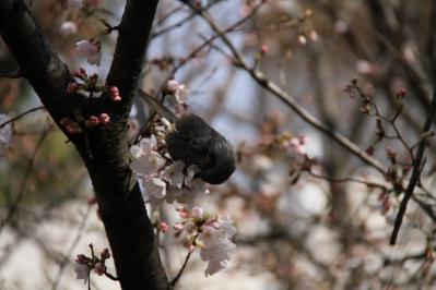 2010-03-29_EOS 7D_0208、2010.3.29.「倉敷中央病院の桜と小鳥」、8、「ヒヨドリ」3、