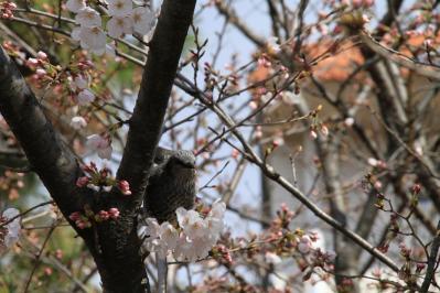 2010-03-29_EOS 7D_0207、2010.3.29.「倉敷中央病院の桜と小鳥」、7、「ヒヨドリ」2、
