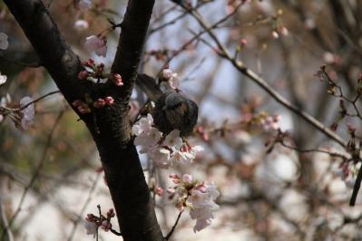 2010-03-29_EOS 7D_0210、2010.3.29.「倉敷中央病院の桜と小鳥」、9、「ヒヨドリ」4、