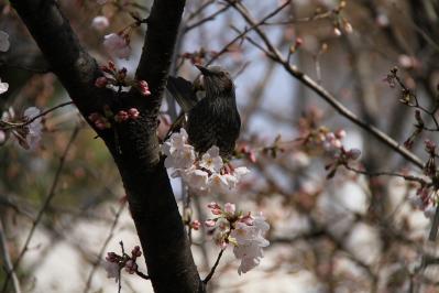 2010-03-29_EOS 7D_0211、2010.3.29.「倉敷中央病院の桜と小鳥」、10、「ヒヨドリ」4、