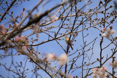 2010-03-29_EOS 7D_0217、2010.3.29.「倉敷中央病院の桜と小鳥」、11、「ウグイス」、