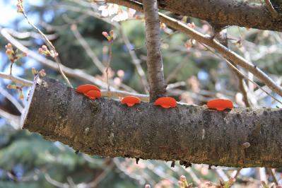 2010-03-29_EOS 7D_0218、2010.3.29.「倉敷中央病院の桜と小鳥」、12、「サルノコシカケ?」、1、
