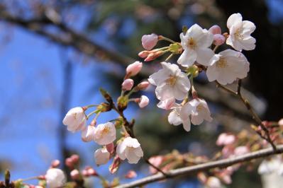 2010-03-29_EOS 7D_0220、2010.3.29.「倉敷中央病院の桜と小鳥」、14
