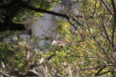 2010-03-29_EOS 7D_0244、2010.3.29.「倉敷中央病院の桜と小鳥」、16、「メジロ」1、