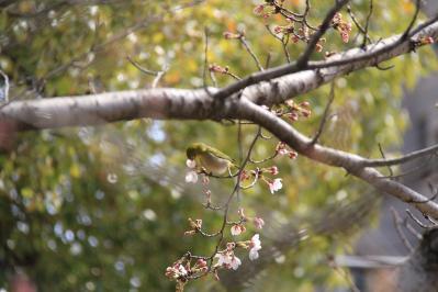 2010-03-29_EOS 7D_0271、2010.3.29.「倉敷中央病院の桜と小鳥」、20、「メジロ」5、