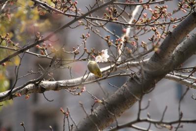 2010-03-29_EOS 7D_0268、2010.3.29.「倉敷中央病院の桜と小鳥」、19、「メジロ」4、