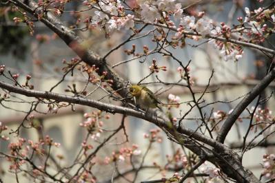 2010-03-29_EOS 7D_0316、2010.3.29.「倉敷中央病院の桜と小鳥」、23、、「メジロ」6、