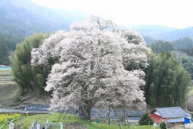 2010.4.17.庄原市東城町小奴可「要害桜」、5