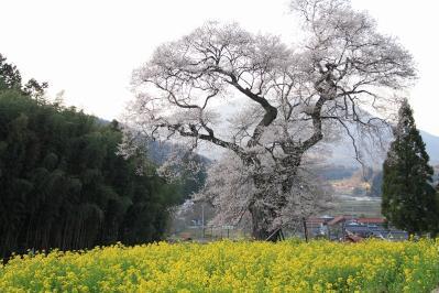 2010.4.17.庄原市東城町小奴可「要害桜」、6