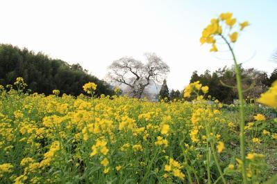 2010.4.17.庄原市東城町小奴可「要害桜」、7