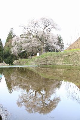 2010.4.17.庄原市東城町小奴可「要害桜」、10